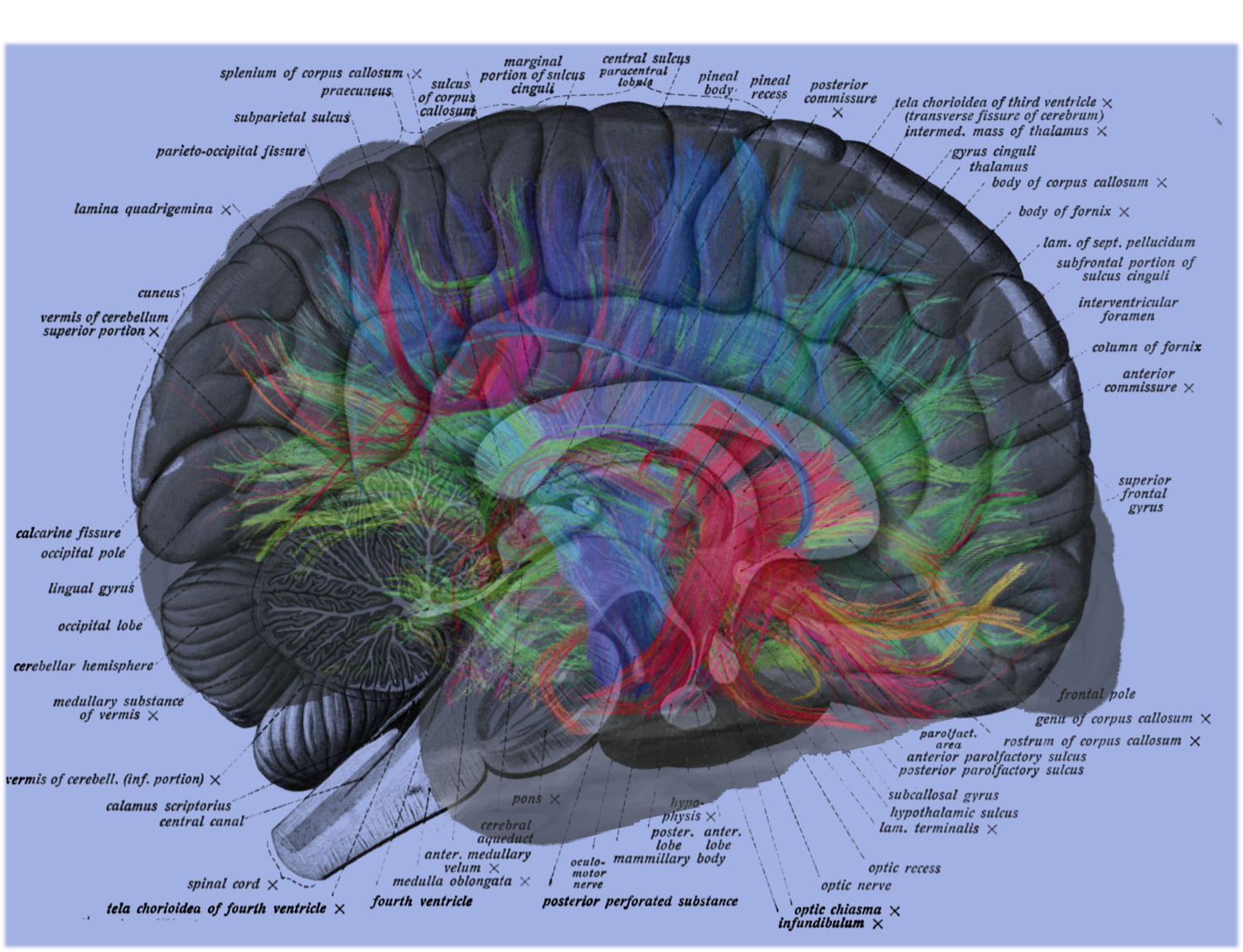 MRI Neural Brain Map Overlay on Human Brain Label Diagram | Jacob Irwin